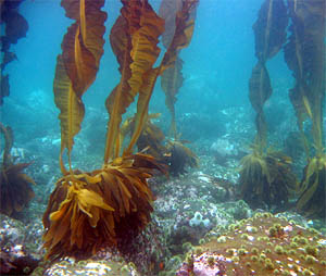 Kelp, photo courtesy of Heloise Chenelot