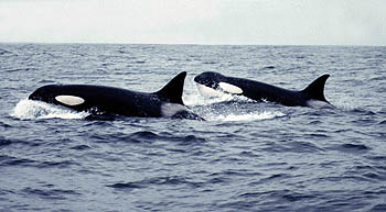 Orcas, photo courtesy of Steve Trumble