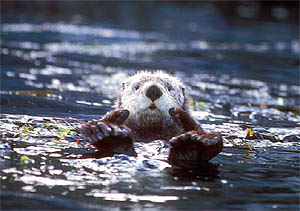Sea Otter, photo courtesy of David Menke/US Fish and Wildlife Service